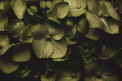 Undertone (Tammy Schild) Tags: flowers macro green texture nature closeup petals blossom hydrangea blooms