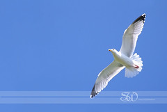 bird seagull flying free (itsabreeze) Tags: seagull bird gull flying underside bluesky summer free freedom