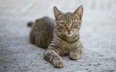 kittens (35) (Vlado Ferenčić) Tags: cats catsdogs kitty kittens animals animalplanet zagorje hrvatska croatia nikond600 nikkor8020028