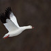 Ross`s Goose (Mike Veltri) Tags: rosssgoose goose geese birds avian flight rare march hamilton ontario