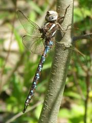 Basiaeschna janata_Springtime darner_Silver Mills (Pete&NoeWoods) Tags: bedfordcnhi bedfordcounty f16woo18 silvermillsbarrens shalebarren basiaeschnajanata springtimedarner odonates dragonfly