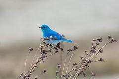Mountain Bluebird (Adam Wang) Tags: bird bluebird mountain wildlife delta nature