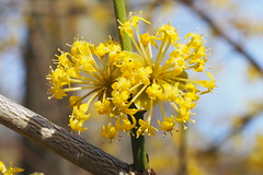 A flower stand of  the European cornel. (Bienenwabe) Tags: flowerstand europeancornel cornel flower flowermacro cornusmas cornus cornaceae blütenstand gelberhartriegel hartriegel kornelkirsche