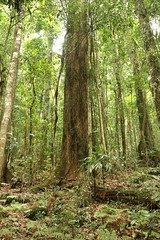 Rosewood (Dysoxylum fraserianum) (Poytr) Tags: rosewood dysoxylumfraserianum dysoxylum meliaceae rosemahogany arfp nswrfp qrfp subtropicalarf subtropicalrainforest boorgannanaturereserve nsw tree rainforest forest australianrosemahogany taree