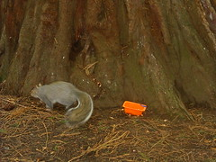 Who_ate_all_the_Jaffas (Bruce Stokes) Tags: coombeabbey coventry squirrel jaffa