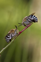 Blue Banded Bee Face Off (aussiegall) Tags: bluebandedbee bee bug insect