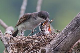 Tyran tritri (Eastern Kingbird) 3/4