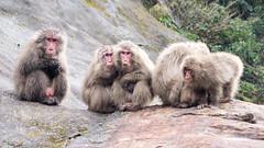 Macaques de Yakushima (Japanese Macaque) (emmrichard) Tags: animaux mammifères natureetpaysage macaquejaponais singe yakushima kyushu japon