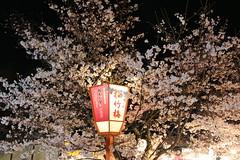 IMG_6411 Maruyama Koen (drayy) Tags: kyoto japan gion temple kiyomizudera maruyamakoen park sakura cherryblossoms 日本 京都 清水寺 円山公園 花見 桜