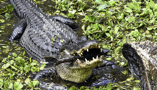 See You Later, Alligator . . .