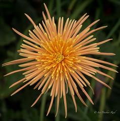 Cactus Spider Dahlia (idunbarreid off / on) Tags: dahlia