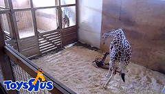 Congratulations April & Oliver! A baby! Bless this little calf and mama. (heights.18145) Tags: aprilthegiraffe veterinarian momtobe ccncby