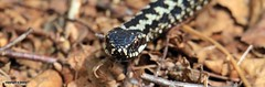 adder J78A0648 (M0JRA) Tags: adders snakes birds parks gardens rspb lakes ponds fields trees nature