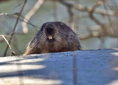 Checking Things Out (Vidterry) Tags: groundhog woodchuck cedarriver