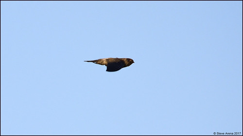 Gemain's Swiftlet (Aerodramus germani)