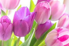 Tulpen - Tulips (Jutta M. Jenning) Tags: tulpe tulpen weiss rosa lilia bluete blueten blume blumen fruehblueher gartentulpe gartenblume fruehling blatt blaetter macro nahaufnahme tulpenstrauss blumenstrauss zart weich tulpenrausch flowers tulips