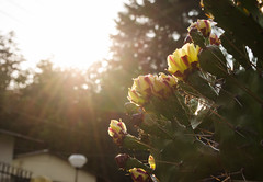 conquering every thorn .. (eyenamic) Tags: flower flora cactus light nature kausani uttarakhand nikon d5100