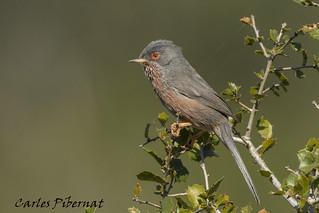 Tallareta cuallarga, Curruca rabilarga, Dartford Warbler (Sylvia undata)