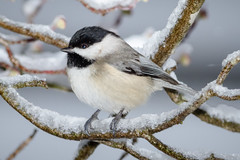 Halfway (tresed47) Tags: 2017 201702feb 20170209chestercountymisc birds canon7d chestercounty chickadee content folder home pennsylvania peterscamera petersphotos places takenby us ngc npc