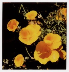 California Poppies (tobysx70) Tags: the impossible project polaroid slr680 frankenroid sx70 door rollers color film for 600 type cameras beta 30 3 0217 pioneer member test impossaroid california poppies vista del mar avenue hollywood hills los angeles la ca poppy flower orange yellow petals toby hancock photography