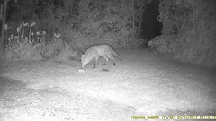 TrailCam224 (ohange2008) Tags: foxes essexgarden april peanuts dogfood hotcrossbun trailcam
