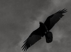 shapeshifter... (Alvin Harp) Tags: fantasy shapeshifting blackandwhite bw monochrome lightroomcc sonyilce7rm2 fe24240mm raven birdflight february 2017 alvinharp