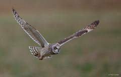 Velduil - Short-eared Owl - Asio flammeus  -2239 (Theo Locher) Tags: velduil shortearedowl sumpfohreule hiboudesmarais asioflammeus vogels birds vogel oiseaux belgie belgium copyrighttheolocher