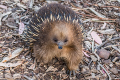 Short-beaked Echidna - Injured D50_7520.jpg (Mobile Lynn) Tags: captive echidna nature landmammals fauna mammal mammals wildlife brighton tasmania australia au