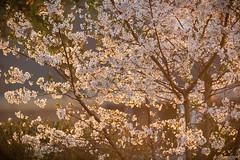 North Carolina Sunset '17 (R24KBerg Photos) Tags: cherrytree flowering flowers sunset sundown dusk evening warm spring season 2017 canon south northcarolina nc nature outdoors scenic pretty pittcounty wintervillenc blossom glow tree backlighting backlit