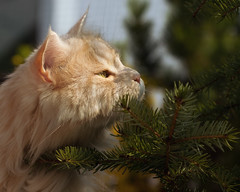 Give up, BIRDS, you are cornered ! (FocusPocus Photography) Tags: linus katze kater cat chat gato tier animal haustier baum tree fichte fir