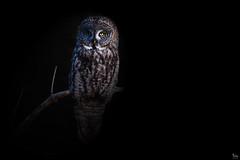 The Night Watchman (NicoleW0000) Tags: great gray owl wild wildlife photography ontario photoshop