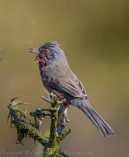 Dartford Warbler (Sylvia undata) Best viewed large