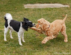 New Best Pals (Denise Trocio (D Trocio Photography)) Tags: pets dogs americancockerspaniel papillon jasper lucky luckycharm outdoors friendship animals domesticatedanimals males boys playtime backyard