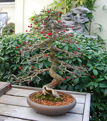 Bonsai, National Arboretum 127558 (thw05) Tags: art bonsai dc nature northamerica penjing people places thwilliamsphotography thomashwilliams thwphotoscom trees usnationalarboretum us usa washington tree plant