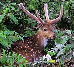 "NEPAL, Royal Chitwan-Nationalpark, Hirsch, 15422/8209 (roba66) Tags: royalchitwannationalpark hirsch deer wild fauna forest wald reisen travel explore voyages roba66 visit urlaub nepal asien asia südasien ""royal chitwannationalpark"" nationalpark landschaft landscape paisaje nature natur naturalezza tier tiere animal animals creature"