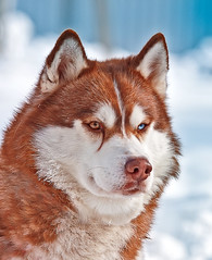 Portrait of Siberian orange Husky in winter (♥Oxygen♥) Tags: adorable alaskan animal arctic beautiful beauty blue breed canine climate coat cold cute dog doggy domestic face female forest fun fur grey happy husky looking malamute mammal nature one outdoors orange red snow
