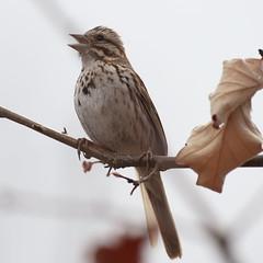 Spring singer (Vox Sciurorum) Tags: bird sparrow songsparrow melospizamelodia cambridge massachusetts sigma500mmf45exdg