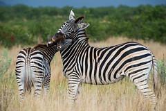 Burchell's zebra - Kruger NP - South Africa (bart coessens) Tags: zebra burchell burchellszebra mammal mammals wildlife wildanimals safari sanp sanparks southafrica southafricannationalparks southernafrica kruger krugernationalpark animals animal