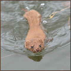 Weasel (image 2 of 3) (Full Moon Images) Tags: wicken fen nt national trust wildlife nature reserve cambridgeshire animal mammal weasel swimming