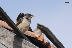 Rosy starling (harshithjv) Tags: bird birding rosy pastor roseus starling aves avian chordata passeriformes sturnidae canon 600d tamron bigron g2