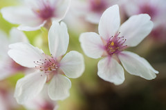 Cherryblossom detail (PaulHoo) Tags: amsterdamse bos flower flora macro cherryblossom blossom dof bokeh 2017 spring nikon d700 detail light fresh color cherry illuminated flash