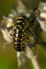 (Pandella Burns) Tags: amanda panda burns july 2015 awenda provincial park campground camping camp midland ontario canada outdoor nature insect bug plant plants yellow spotted millipede