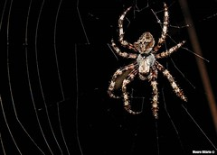 Nocturnal weaver (Mauro Hilário) Tags: spider animal wildlife night closeup macro portugal nature arachnid creepy web invertebrate araneus detail dark