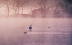 early birds (Florian Grundstein) Tags: mist misty morning swan water fog sun birds trees natural nature pond lake upperpalatinate bavaria sunrise