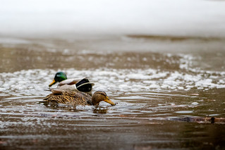 Mallard Pair Dabbling in Winter