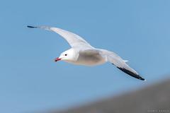 Audouin's Gull  -  Korallenmöwe (CJH Natural Photography) Tags: audouinsgull gull korallenmöwe möwe seagull mallorca spain inflight bif birdinflight bird vogel bluesky