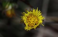 Wild Flower (Hugo von Schreck) Tags: hugovonschreck flower blume blüte wildblume wildflower canoneos5dsr tamron28300mmf3563divcpzda010