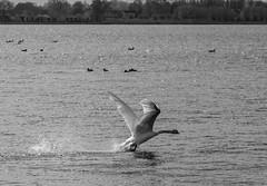attack! (Stijn Daniels) Tags: canon rebel 600d swan bird blackandwhite black white reeuwijk reeuwijkse plassen zwartwit zwart wit zwaan vogel