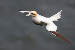 "Gannet... (coopsphotomad) Tags: gannet bempton seabird sea animal wildlife nature bird shore british britain fly soar feathers beak colour canon flight bif ""bird flight"" cliffs waves"