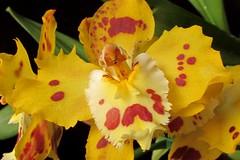 Odontoglossum Holliday Yellow (srorquídeas) Tags: orquídea amarela odontoglossum yellow planta orchidaceae orchids ornamental ouro